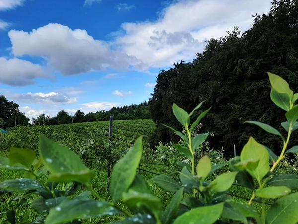 plantar kućica bobica